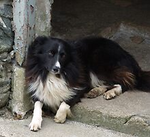 Inishowen Fauna - Border Collie by jecate