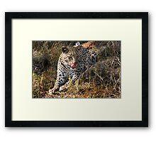 She's so sneaky - Female leopard, Okavango Delta Framed Print