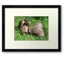 Bullied into Submission - Mating Tortoises Framed Print