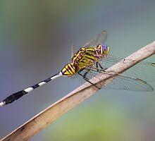 Slender Skimmer Dragonfly by Teale Britstra