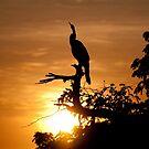Australian Darter at sunrise, Yellow Water, Kakadu National Park by Erik Schlogl