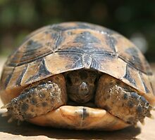 Young Spur Thighed Tortoise Looking Out of Its Shell by taiche