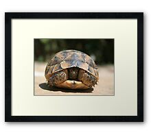 Young Spur Thighed Tortoise Looking Out of Its Shell Framed Print