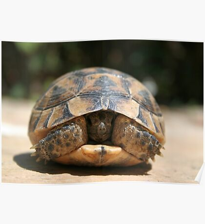 Young Spur Thighed Tortoise Looking Out of Its Shell Poster