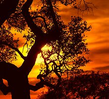 Texas Oak Tree in Silouette .............Sunset in JULY 2009 by kellimays