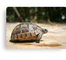 Sideview of A Walking Turkish Tortoise Canvas Print