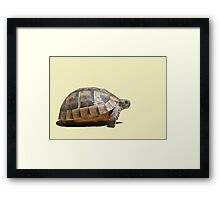 Sideview of A Walking Turkish Tortoise Isolated Framed Print