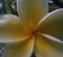 Yellow & White Frangipani by Martice