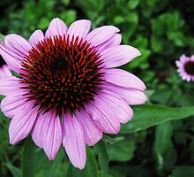 Echinacea by ArtFr33k