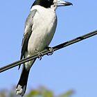Grey Butcherbird ~ The Pavarotti of the bush  ♫♫ ♪ ♪ ♬  by Robert Elliott