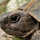 Close Up Side Portrait Of A Turkish Tortoise by taiche