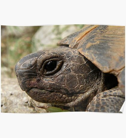 Close Up Side Portrait Of A Turkish Tortoise Poster