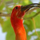 Scarlet ibis reaching to the sun by loiteke