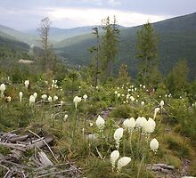 Bear Grass in the Kootenay Mountains by Magnum1975