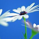 Simple Daisies by Renee Hubbard Fine Art Photography