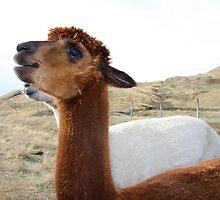Llama by carrolk