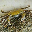 Crab & Shell by AnnDixon