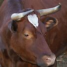 The RED OXEN! by Ruth Lambert