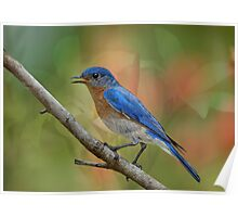 Bluebird Symphony Poster