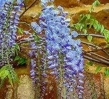 Wisteria by Chris Thaxter