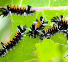 Milkweed Tiger Moth Caterpillar X5 by DigitallyStill