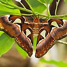 Atlas moth (Attacus atlas) by Steve  Liptrot