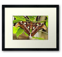 Atlas moth (Attacus atlas) Framed Print