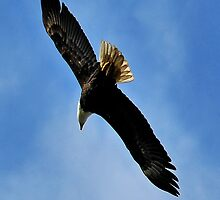 Flying Free beautiful Bald Eagle by MaluC