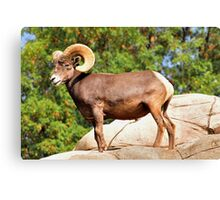 Beautiful Ram Canvas Print