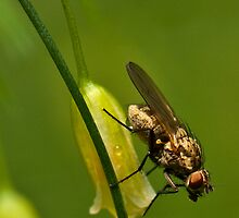 Asparagus flower and insect by (Tallow) Dave  Van de Laar