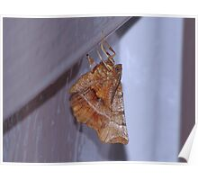 Early Thorn Moth Poster