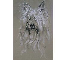 Silky Terrier Photographic Print