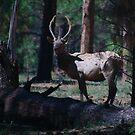 The Elk by thruHislens .