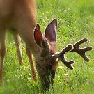 Deer Grazing in South Dakota by AndreaBelanger