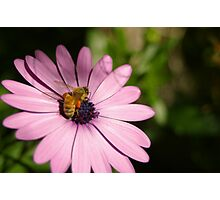 Bee and Daisy Photographic Print