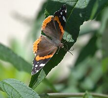 red admiral by paul gavin