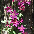 Niobe Clematis by Pat Yager