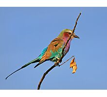 Lilac Breasted Roller, Moremi Game Reserve, Botswana Photographic Print