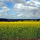 Fields of Gold, New Norcia, Western Australia by Adrian Paul