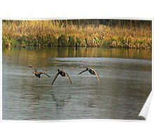 Waterfowl in Flight #2 Poster