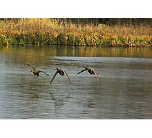 Waterfowl in Flight #2 Photographic Print