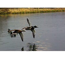 Waterfowl in Flight  #1 Photographic Print