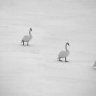 Swans in Winter by Kasia Nowak