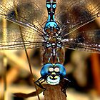 Smiley the Blue – eyed  Darner  by Chuck Gardner