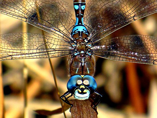 Smiley the Blue – eyed  Darner  by Chuck Gardner