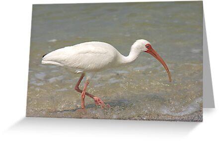 White Ibis by kinz4photo