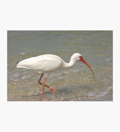 White Ibis Photographic Print