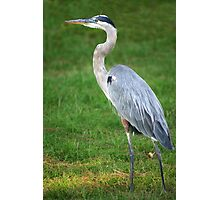 Gray Heron Photographic Print