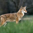 Coyote in the Cove by kinz4photo