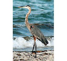 Heron at the sea Photographic Print